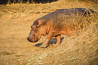 Hippo (Hippopotamus amphibius) walking on dry land in the Luangwa Valley, South Luangwa National Park, Zambia, Africa.