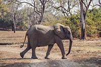 African Elephant walking across a dry track in the Luangwa Valley, South Luangwa National Park, Zambia, Africa.
