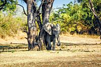 Elephant rubbing its skin against tree in South Luangwa National Park, Zambia, Africa.