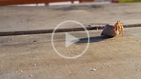 LITTLE LAND HERMITAN CRAB LEAVING SHELL AND WALKING ON A WOODEN TABLE close to the shoreline AT THE CARIBBEAN BEACH