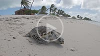Sea turtle on the sandy beach looking for the sea at Dos Mosquises Island -the-Caribbean-sea. Los Roques-National-Park-Venezuela. SLOW MOTION