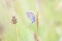 Common blue icarus butterfly on leaf (polyommatus icarus).