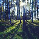 Poland. Birch grove.