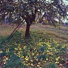 Poland. Apple tree with apples lying on the ground.
