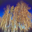 Poland. Birch grove as seen from below.
