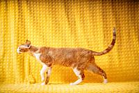Funny Red Ginger Devon Rex Cat Posing On Plaid. Short-haired Cat Of English Breed On Yellow Plaid Background. Shorthair Pet.