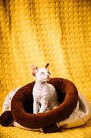 Funny Young Small Little White Devon Rex Kitten Kitty Resting posing In Warm Bag Bed. Short-haired Cat Of English Breed On Yellow Plaid Background. Sh...