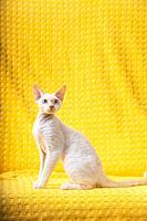 White Devon Rex Kitten Kitty. Short-haired Blue-eyed Cat Of English Breed On Yellow Plaid Background. Shorthair Pet Cat.