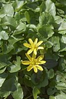 Lesser celandine (Ficaria verna). Called Pilewort and Fig buttercup also. Another scientific name is Ranunculus ficaria.