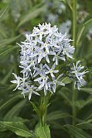 Blue star (Amsonia tabernaemontana). Called Easten bluestar also.