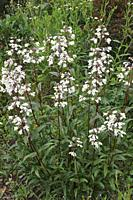 Foxglove beard-tongue (Penstemon digitalis 'Husker Red'). Called Talus slope penstemom and White beardtongue also.