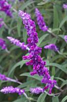 Mexican bush sage (Salvia leucantha). Called Velvet sage also.