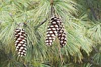 Vanderwolf's Pyramid limber pine (Pinus flexilis 'Vanderwolf's Pyramid').