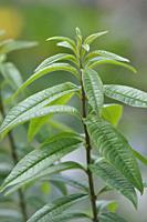 Lemon verbena in a garden.