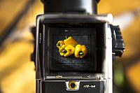 Yellow peppers in the viewfinder of a Hasselblad 503 CW camera.