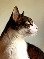 Profile portrait of tabby and white cat.