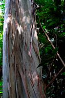 Tropical tree, arbutus marina bark, Borneo