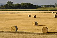 Round straw bales in harvested fields.