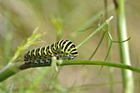 Swallowtail caterpillar on a fennel plant.