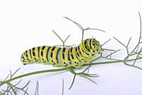 Swallowtail caterpillar on a white backgroung.