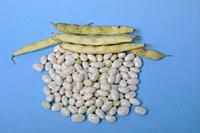 Coco paimpolais bean on a blue background.