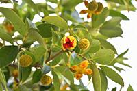 Wild peach (Kiggelaria africana) is an evergreen tre native to eastern and southern Africa, from Kenia to South Africa. Leaves and fruits detail.
