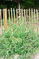 Common amaranth, red-root amaranth or redroot pigweed (Amaranthus retroflexus) is an annual plant edible but reach in oxalic acid. Is native to tropic...