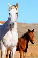 Mare with her foal.Badajoz province. Extremadura. Spain