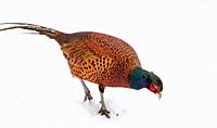 Male pheasant (Phasianus colchicus) in the snow, South Lanarkshire, Scotland.