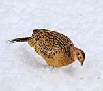Female pheasant (Phasianus colchicus) in the snow, South Lanarkshire, Scotland.