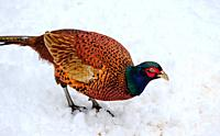 One of Scotland's most colourful native birds, the male pheasant (Phasianus colchicus) struggles to find food after a heavy snowfall in South Lanarksh...