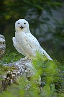 Snowy Owl, Bubo scandiacus.