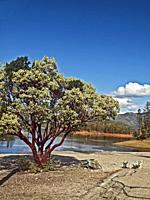 Large Manzanita tree (Arctostaphylos) on the shore of Whiskeytown Lake in Shasta county, California.