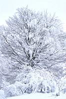Snowy beech forest in winter in Puerto de Opakua, in the Sierra de Entzia Natural Park. Alava. Basque Country. Spain. Europe.