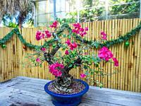 Lesser bougainvillea (Bougainvillea glabra) is the most common species of bougainvillea used for bonsai.