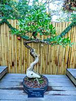 Buttonwood (Conocarpus erectus) is a mangrove shrub in the family Combretaceae.