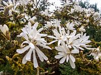 Star magnolia (Magnolia stellata) is a slow-growing shrub or small tree native to Japan. It bears large, showy white or pink flowers in early spring, ...