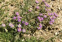Spergularia rubra, creeping plant with purple flowers, Caryophillaceae family, Guadarrama National Park, Madrid, Spain