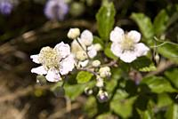Flowers of blackberry, Rubus fruticosus, Guadarrama National Park, Madrid, Spain.