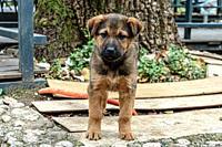 Brown puppy standing.