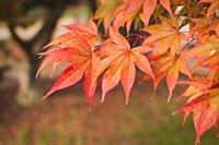 Acer palmatum or Japanese maple leaf during fall season