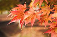 Acer palmatum or Japanese maple leaves during fall season
