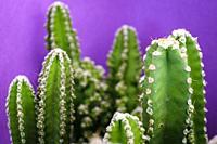 cactus for computer, Cereus uruguayanus, Mallorca, Balearic Islands, Spain.
