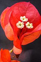 Bougainvillea in bloom, Mallorca, Balearic Islands, Spain.