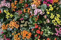 Kalanchoe, species of the Crassulaceae family, Mallorca, Balearic Islands, Spain.