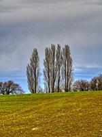 stand of poplar trees near Lauzun in winter, Lot-et-Garonne Department, Nouvelle-Aquitaine, France.
