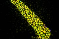 Fingers of an Afro-Colombian worker loading green oranges (for juicing) into baskets are seen in a storage room of the fruit market in Barranquilla, C...