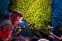 An Afro-Colombian worker, covered by thrown flour due to his birthday, loads green oranges (for juicing) into baskets inside a truck parked in a fruit...