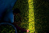 A Colombian worker loads green oranges (for juicing) into baskets inside a truck parked in a fruit market in Barranquilla, Colombia.