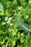 Closeup of Coriander flowers on the plant in a farm field.